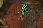 Green-and-black poison dart frogs fighting [costa_rica_la_selva_1055]