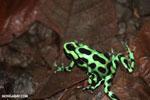 Green-and-black poison dart frogs fighting [costa_rica_la_selva_1059]