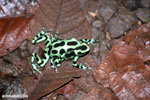 Green-and-black poison dart frogs fighting [costa_rica_la_selva_1063]