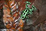 Green-and-black poison dart frogs fighting [costa_rica_la_selva_1065]