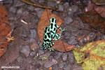 Green-and-black poison dart frogs fighting [costa_rica_la_selva_1069]