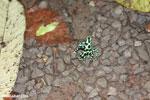 Green-and-black poison dart frogs fighting [costa_rica_la_selva_1079]