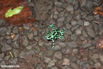 Green-and-black poison dart frogs fighting [costa_rica_la_selva_1085]