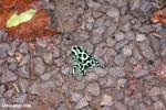Green-and-black poison dart frogs fighting [costa_rica_la_selva_1087]