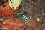 Green-and-black poison dart frogs fighting [costa_rica_la_selva_1090]