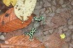Green-and-black poison dart frogs fighting [costa_rica_la_selva_1094]