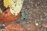 Green-and-black poison dart frogs fighting [costa_rica_la_selva_1099]