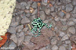 Green-and-black poison dart frogs fighting [costa_rica_la_selva_1102]
