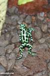 Green-and-black poison dart frogs fighting [costa_rica_la_selva_1103]