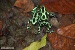 Green-and-black poison dart frogs fighting [costa_rica_la_selva_1114]