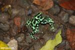 Green-and-black poison dart frogs fighting [costa_rica_la_selva_1132]