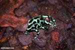 Green-and-black poison dart frogs fighting [costa_rica_la_selva_1134]