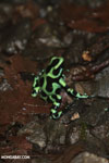Green-and-black poison dart frogs fighting [costa_rica_la_selva_1137]