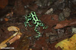 Green-and-black poison dart frogs fighting [costa_rica_la_selva_1141]