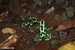 Green-and-black poison dart frogs fighting [costa_rica_la_selva_1145]