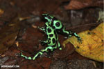 Green-and-black poison dart frogs fighting [costa_rica_la_selva_1150]
