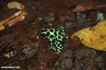Green-and-black poison dart frogs fighting [costa_rica_la_selva_1152]