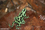 Green-and-black poison dart frogs fighting [costa_rica_la_selva_1157]