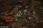 Green-and-black poison dart frogs fighting [costa_rica_la_selva_1160]