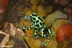 Green-and-black poison dart frogs fighting [costa_rica_la_selva_1175]