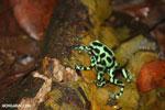 Green-and-black poison dart frogs fighting [costa_rica_la_selva_1176]