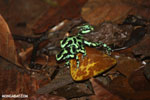 Green-and-black poison dart frogs fighting [costa_rica_la_selva_1177]