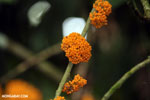 Orange berries [costa_rica_la_selva_1187]