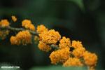 Orange berries [costa_rica_la_selva_1188]