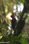 Pale-billed woodpecker [costa_rica_la_selva_1221]