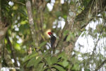 Pale-billed woodpecker [costa_rica_la_selva_1222]