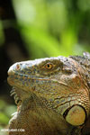 Green iguana climbing a tree