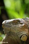Green iguana climbing a tree [costa_rica_la_selva_1235]