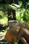 Green iguana climbing a tree [costa_rica_la_selva_1238]