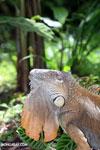Green iguana climbing a tree [costa_rica_la_selva_1241]