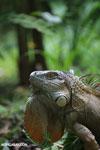 Green iguana climbing a tree [costa_rica_la_selva_1244]