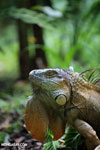 Green iguana climbing a tree [costa_rica_la_selva_1245]