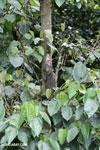 Green iguana climbing a tree [costa_rica_la_selva_1260]