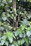 Green iguana climbing a tree [costa_rica_la_selva_1261]