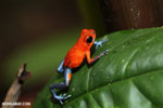 Strawberry poison-dart frog (Oophaga pumilio) [costa_rica_la_selva_1288]