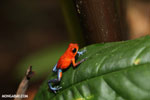Strawberry poison-dart frog (Oophaga pumilio) [costa_rica_la_selva_1289]