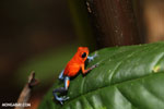 Strawberry poison-dart frog (Oophaga pumilio) [costa_rica_la_selva_1291]