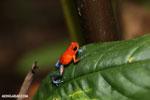 Strawberry poison-dart frog (Oophaga pumilio) [costa_rica_la_selva_1292]