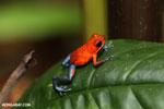 Strawberry poison-dart frog (Oophaga pumilio) [costa_rica_la_selva_1295]