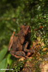 Rhaebo haematiticus frog [costa_rica_la_selva_1307]