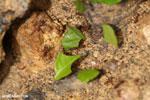 Leaf-cutter ants [costa_rica_la_selva_1311]