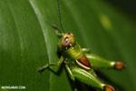 Grasshopper [costa_rica_la_selva_1316]