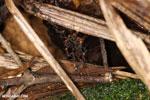 Army ants building a bridge