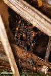 Army ants building a bridge [costa_rica_la_selva_1325]