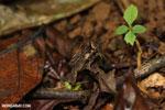 Frog [costa_rica_la_selva_1350]