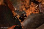 Craugastor bransfordii frog [costa_rica_la_selva_1362]